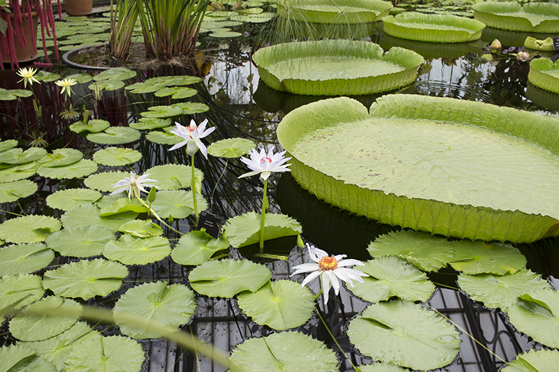 waterlilies, park, gardens, attractions, seasonal, Museums and galleries, viewpoint, flowers, grass,