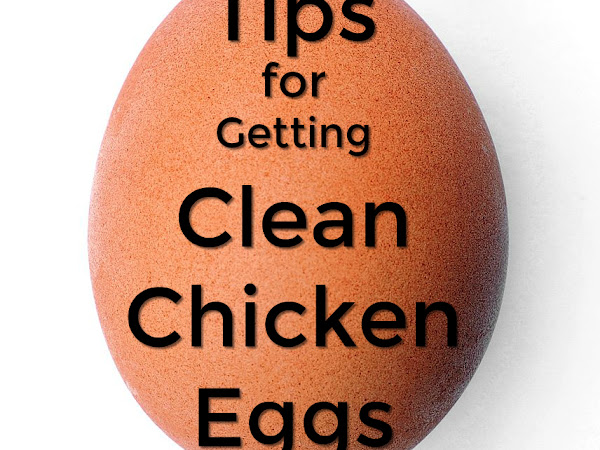Tips for Getting Clean Chicken Eggs