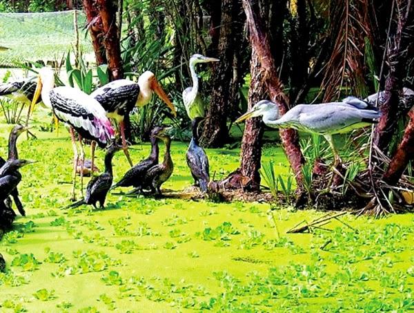 Chim Cò, Vạc tại sân chim Gáo Giồng