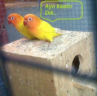 cara beternak lovebird