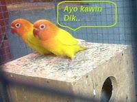 Cara Budidaya Ternak Lovebird Untuk Pemula