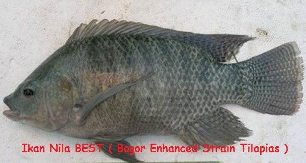 Jenis Ikan Nila - Ikan Nila BEST