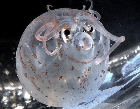 Piglet Squid hewan cumi cumi yang mirip babi