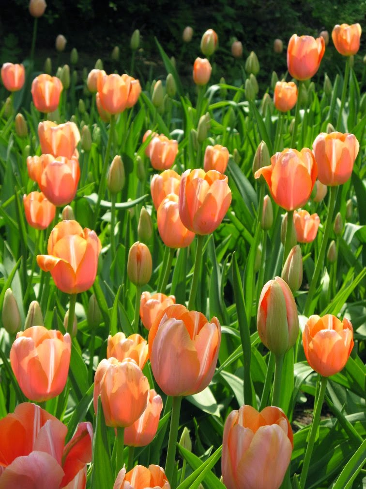 Royal Botanical Gardens pale orange tulips by garden muses-not another Toronto gardening blog