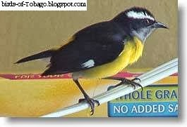 Bananaquit (Coereba flaveola) wild bird in a house