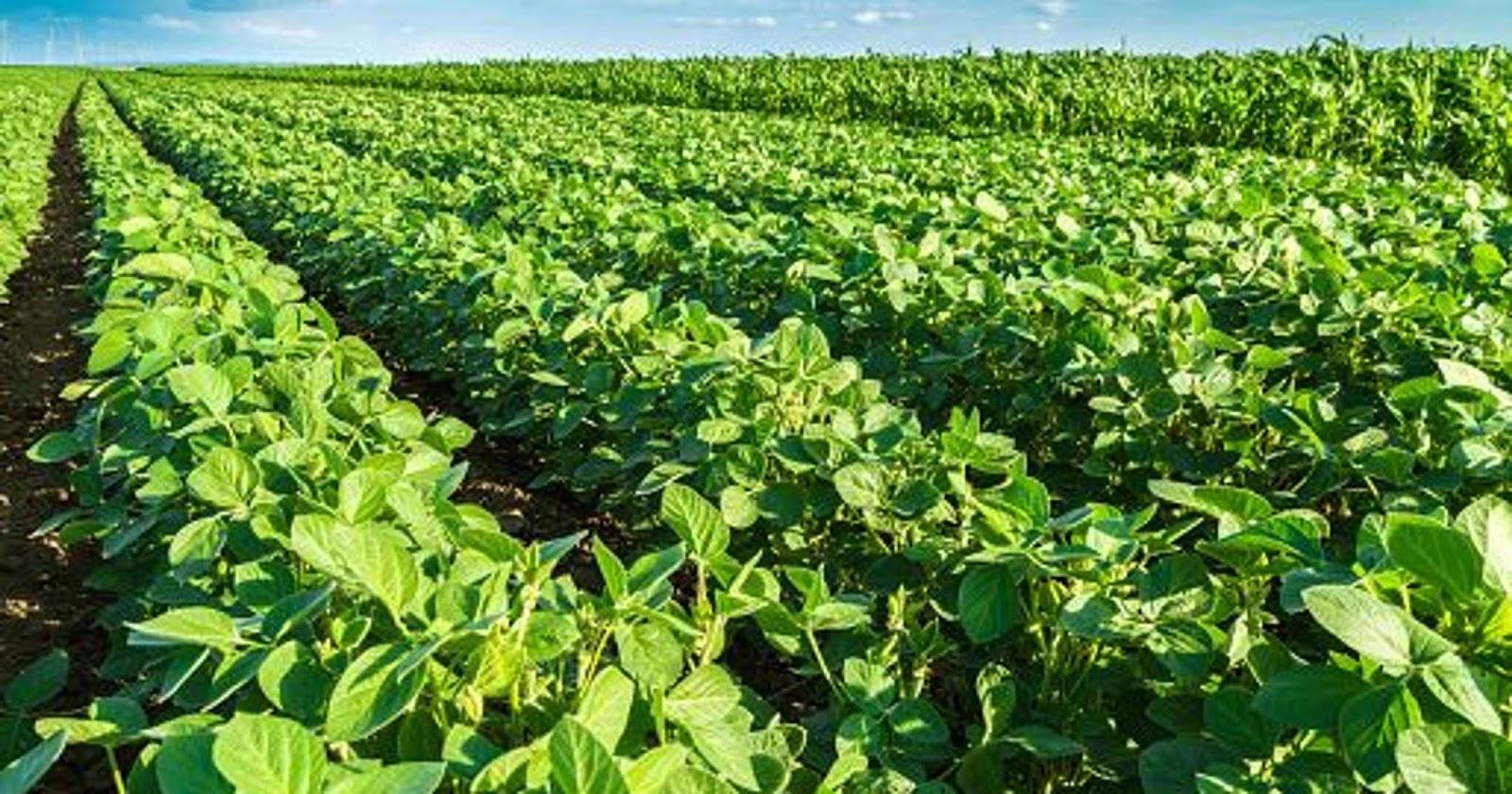Soya Beans No 2 GMO, Non-GMO Grades Suppliers, Exporters