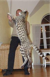 The Beautiful Savannah Cats | Savannah Kittens For Sale | 197 x 300 jpeg 14kB