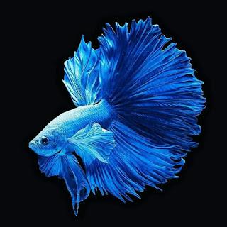 wallpaper ikan cupang keren