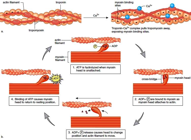 Mechanism of Skeletal Muscle Contraction