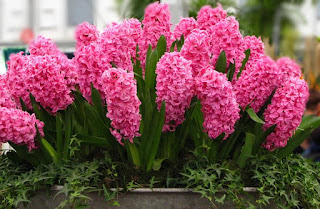 Цветок имени Елизавета – гиацинт