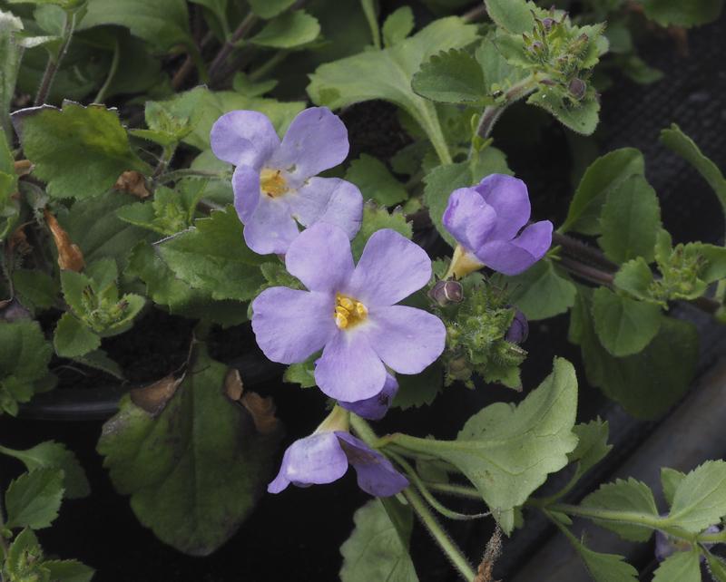 Flora ornamental hort cola y medicinal chaenostoma for Jardin botanico medicinal