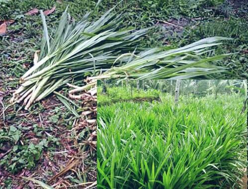8 Jenis Rumput Pakan Kelinci Yang Bagus Beserta Gambarnya
