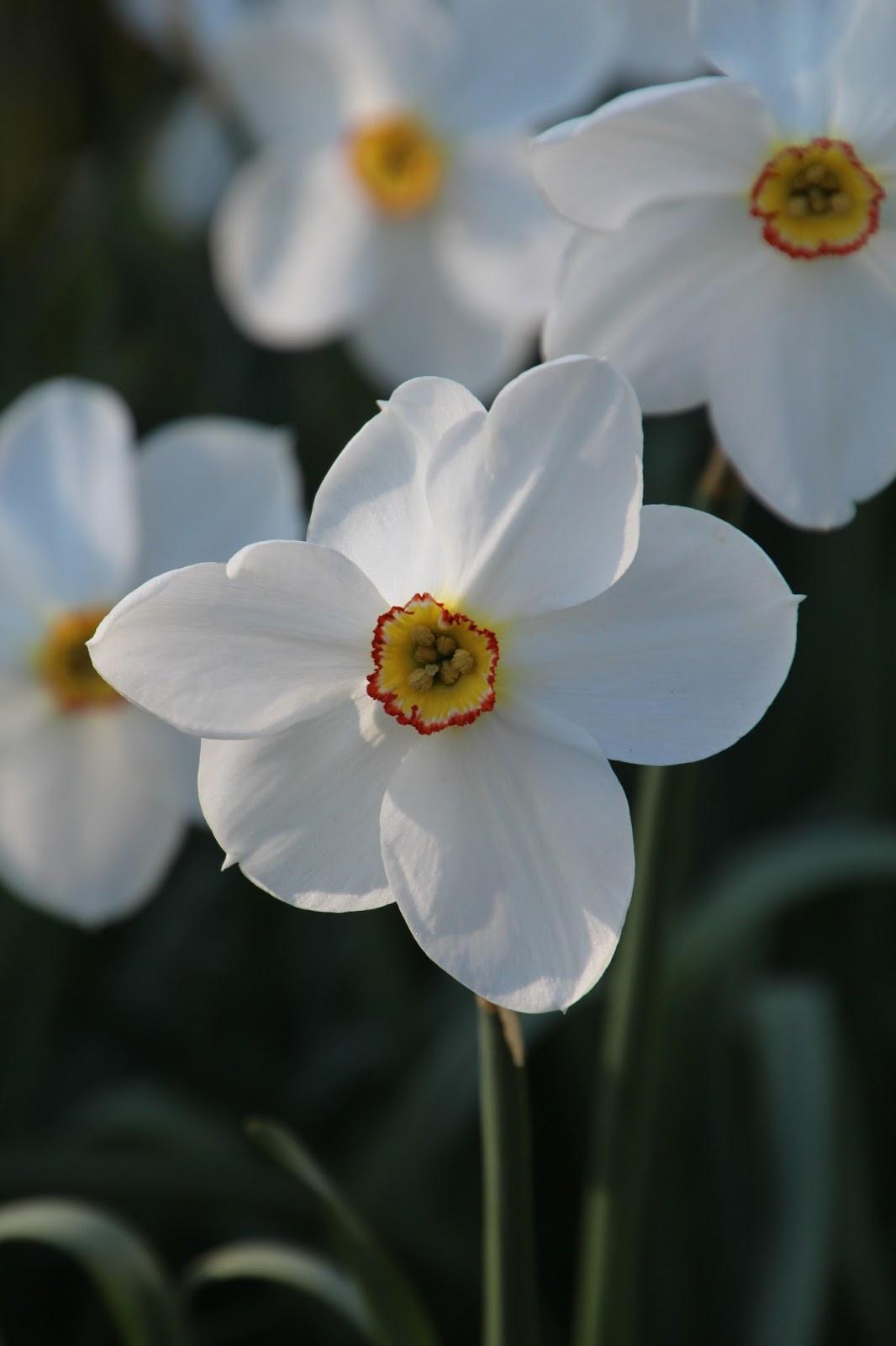 Poetnarciss narcissus poeticus 'Actaea'