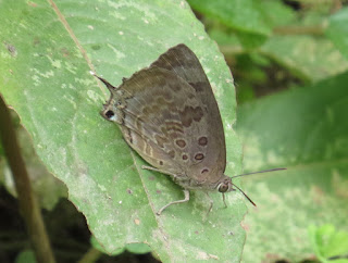 Arhopala amantes, Large Oakblue