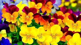 Цветок Анны - жёлтые анютины глазки
