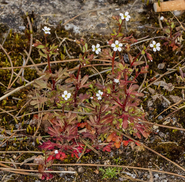 Rue-leaved Saxifrage, Saxifraga tridactylites.  West Common Road, Hayes, 13 April 2016.