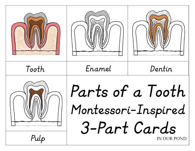 Tooth 3-Part Cards Printable from In Our Pond  #teeth  #toothfairy  #dentalunit  #homeschooling  #montessori  #dentist