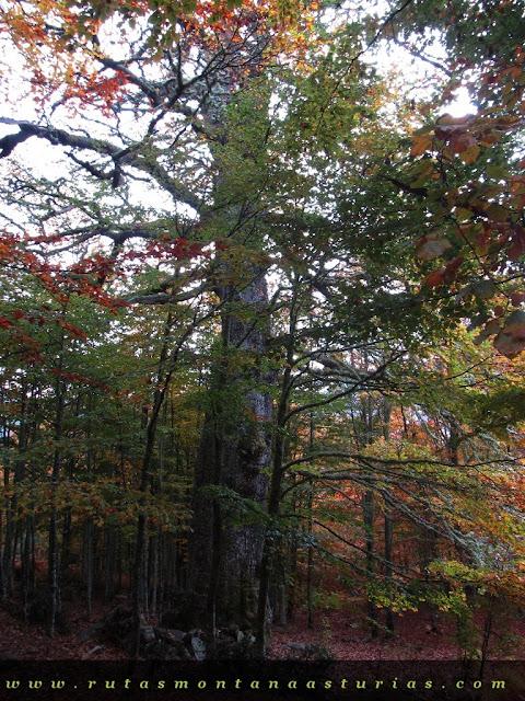 Ruta Bosque de Peloño: El Roblón