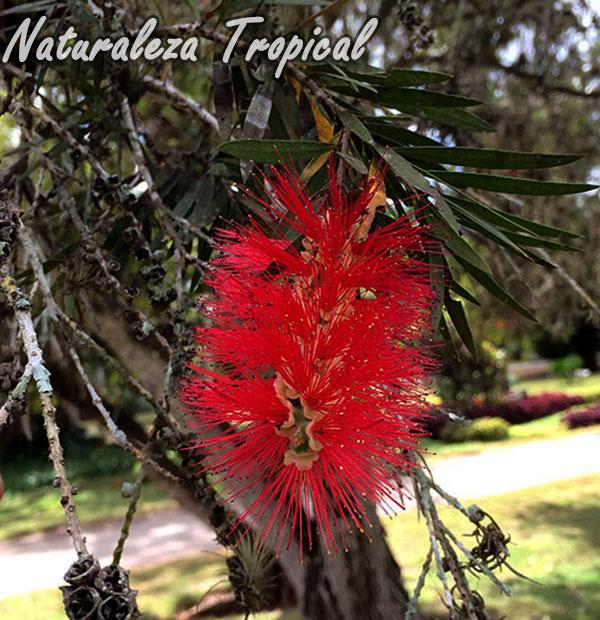 Inflorescencia de una especie del género Callistemon