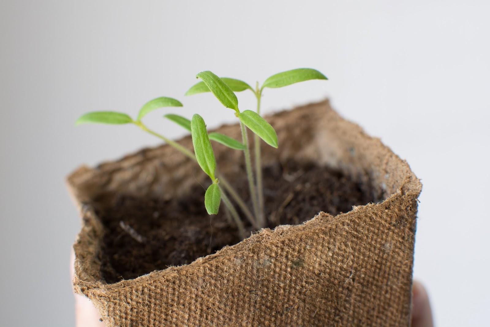 semis-tomates-cerise-potager-balcon