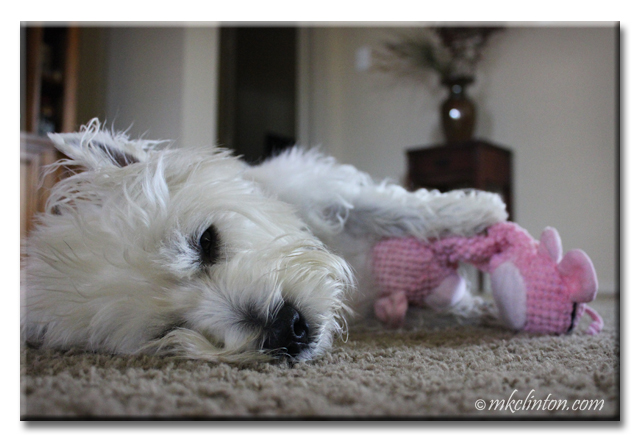 Westie sleeping with one eye open