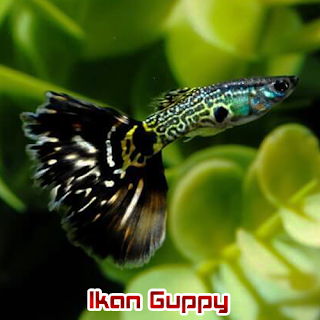Ikan Hias Aquascape Guppy