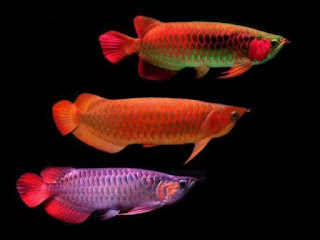 arwana-super-red-kedua.jpg