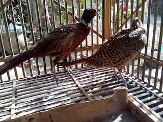 Ringneck Pheasant Dewasa Sepasang