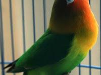 Rahasia Lovebird Ngekek Panjang Yang Dirahasiakan