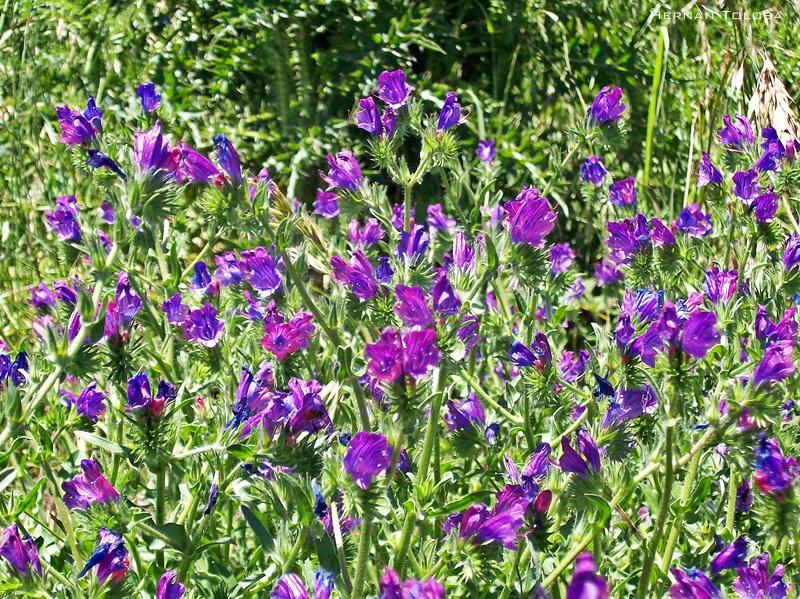 Flora Bonaerense Flor Morada Echium Plantagineum