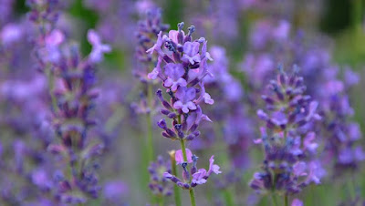 Reflexology Lavender Oil