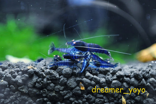 Royal Blue Tiger Shrimp Orange Eye