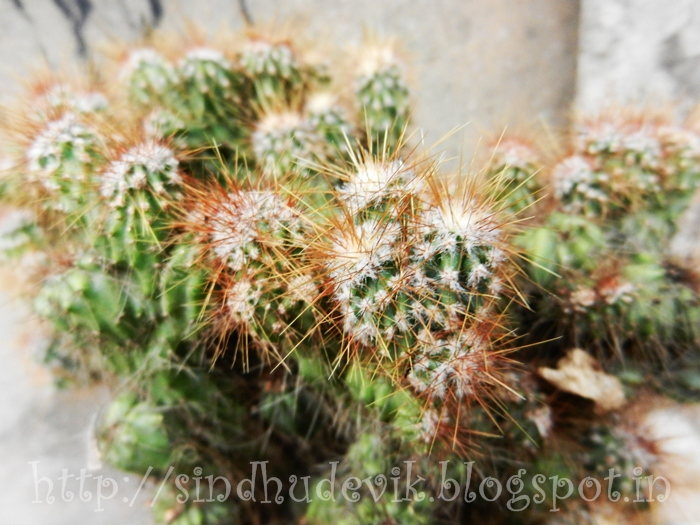 Spiny variety of cactus.