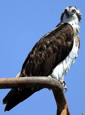 Águila pescadora (Pandion haliaetus)