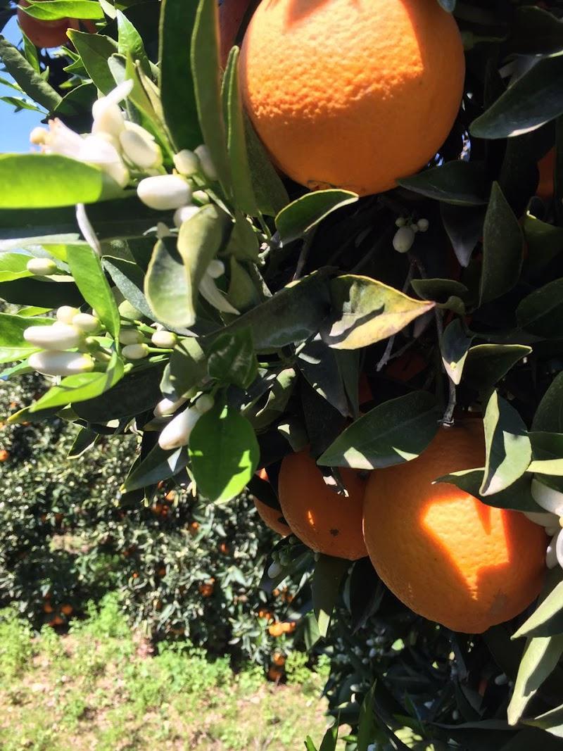 Meşhur Kumluca Portakalı Portakalbende.com ile Kapınızda