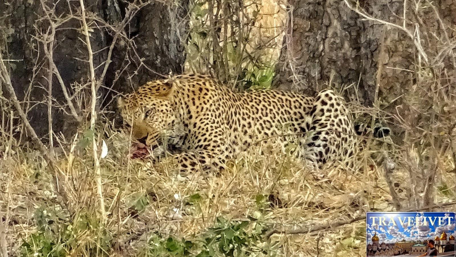 Afrique du sud Parc Kruger Léopard mangeant un Impala