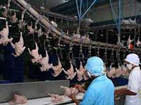 Informasi Telur: Pemotongan ayam