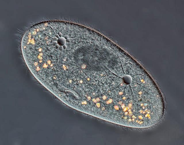 Paramecium, ampliação de 40x, Rogelio Moreno Gill, Panamá