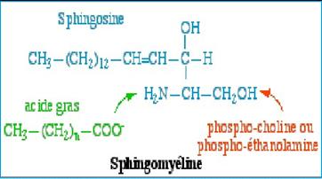 sphingomyéline