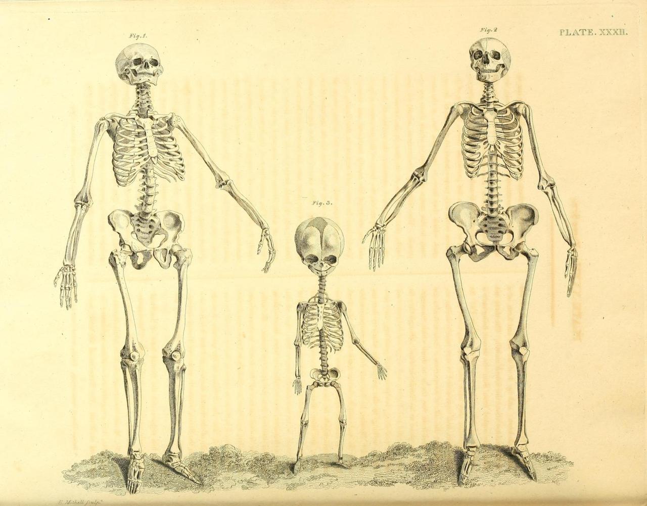 human skeleton female vs male