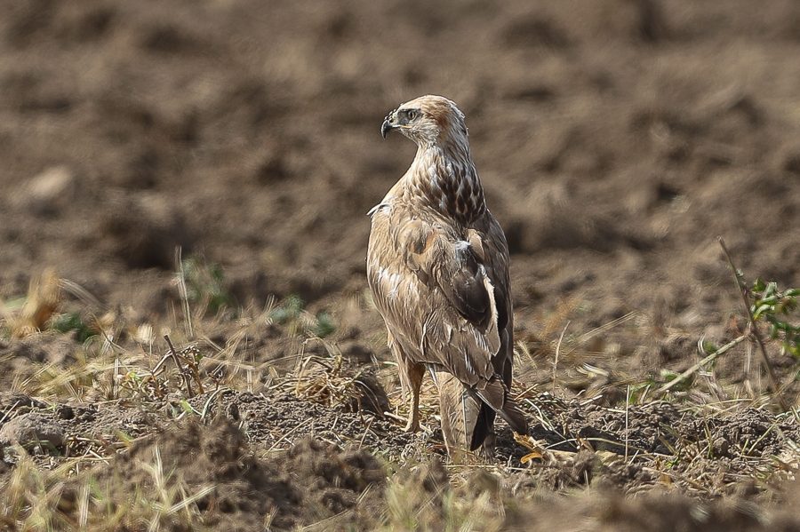 Long-legged Buzzards – Haradh