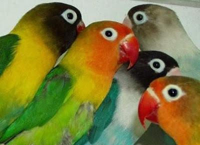 Cara membedakan Jenis Kelamin Lovebird Kacamata