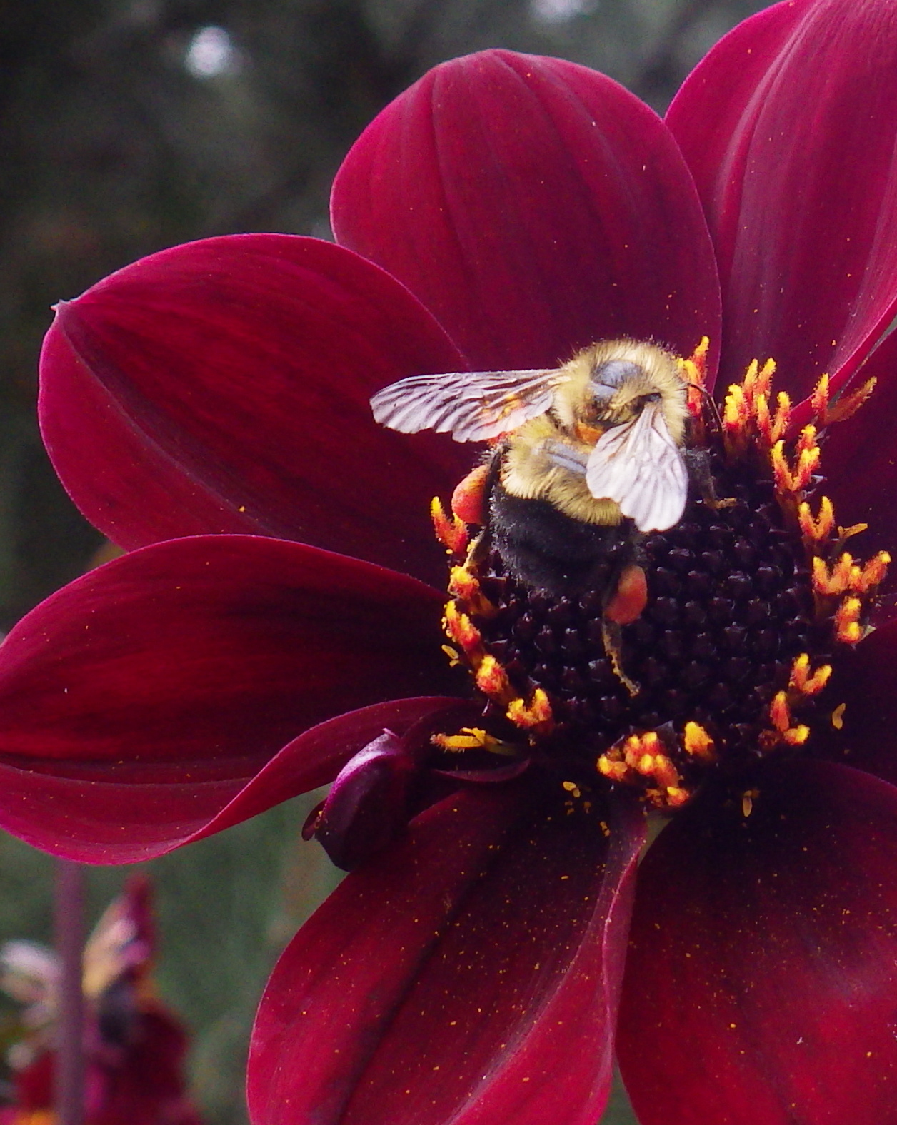 Victory Gardens for Bees: Summerland Bees: Those Hairy-Legged Beasties