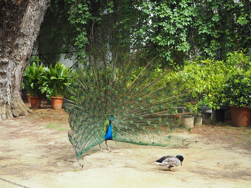 Peacock at Real Alcazar Seville