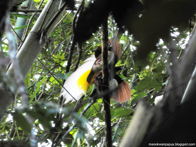 Lesser Birds of Paradise in Susnguakti forest