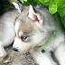 ขายน้องหมา ไซบีเรียน ฮัสกี้ ราคาถูก (ปิดการขายแล้ว)