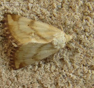 http://www.biodiversidadvirtual.org/insectarium/Aegle-vespertinalis-img494972.html