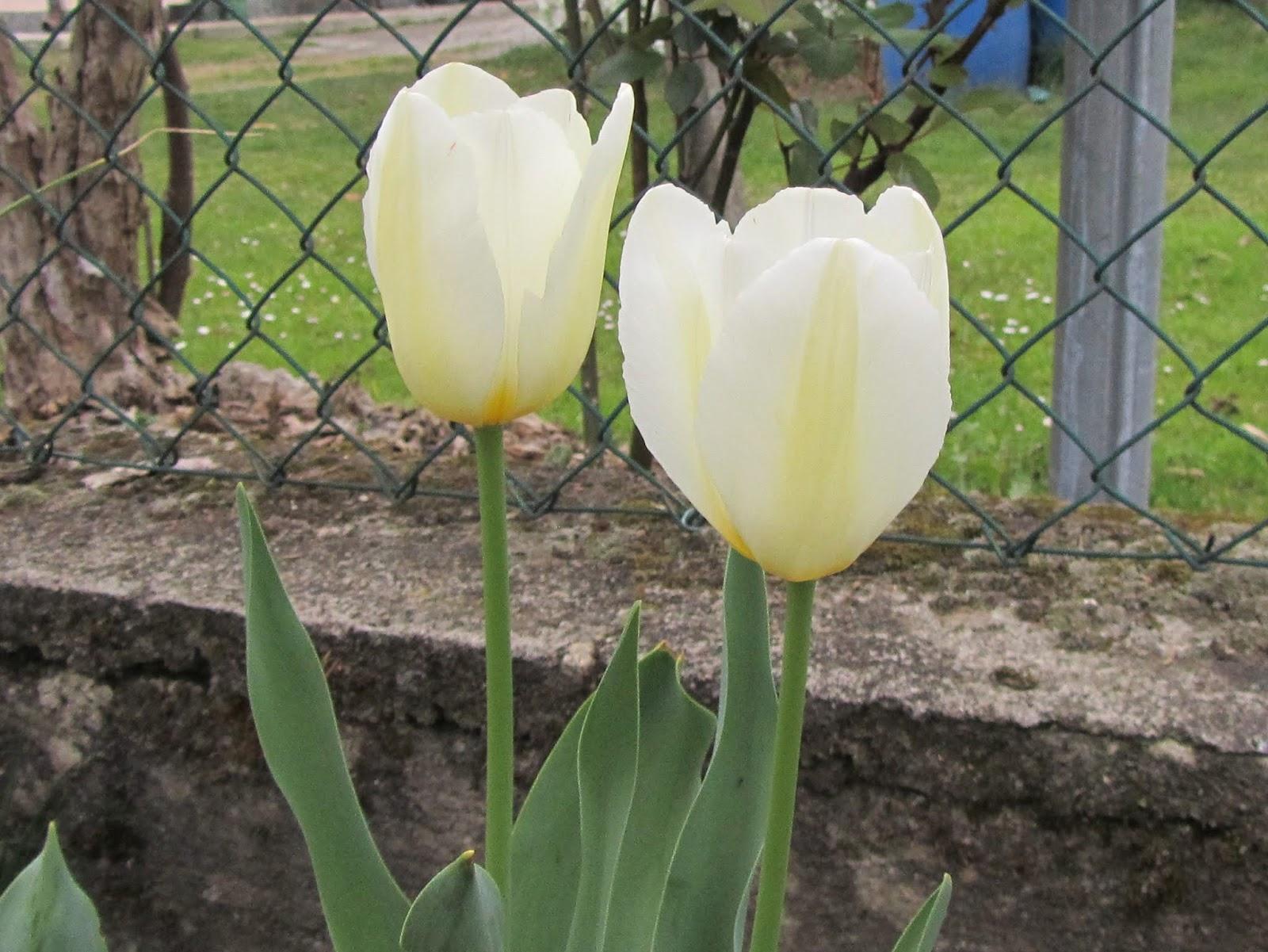 Come Si Piantano I Tulipani il gusto della natura: quando piantare i tulipani
