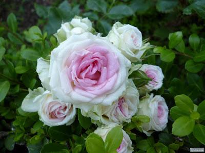 真ん中がピンクの薔薇