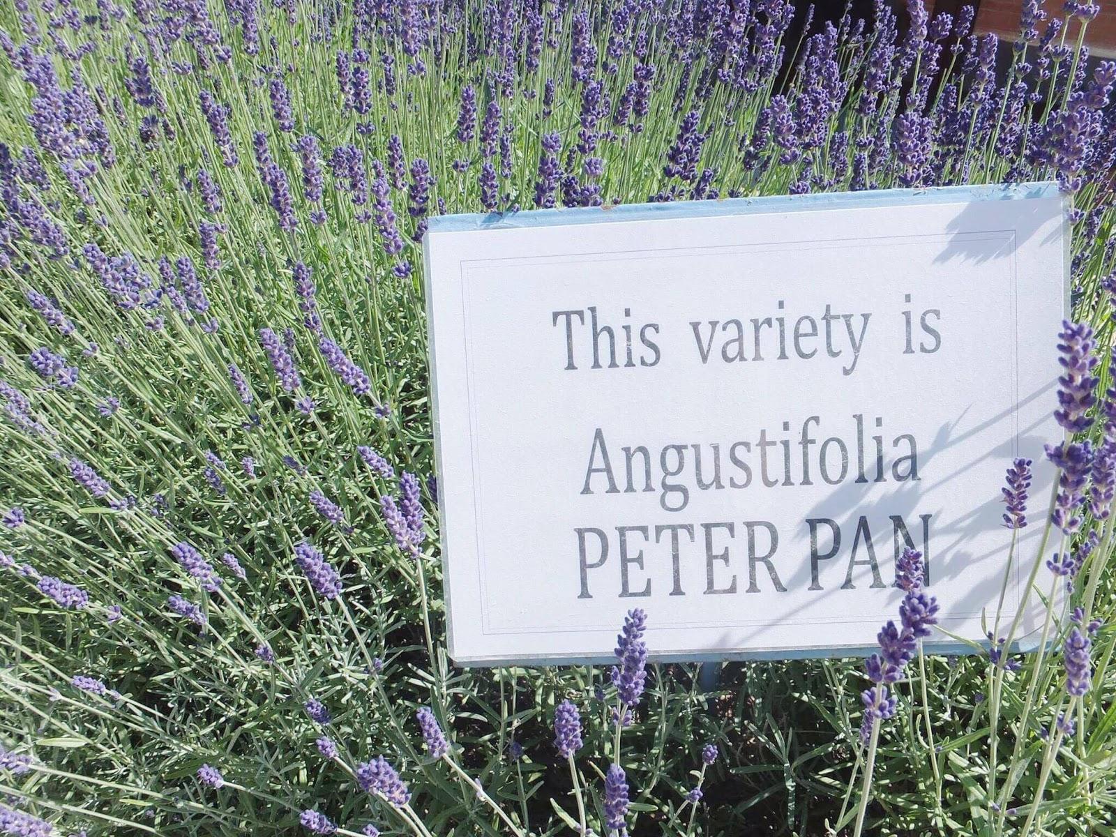 Peter-Pan-Lavender